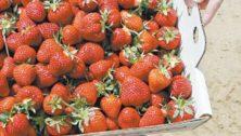 Seasonal berry picking in Bucks County