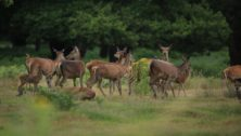 Culling deer herds in Solebury Township