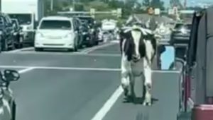 Bull on Route 113, Hilltown, Bucks County
