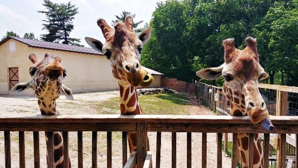 Elmwood Park Zoo Giraffe Feeding