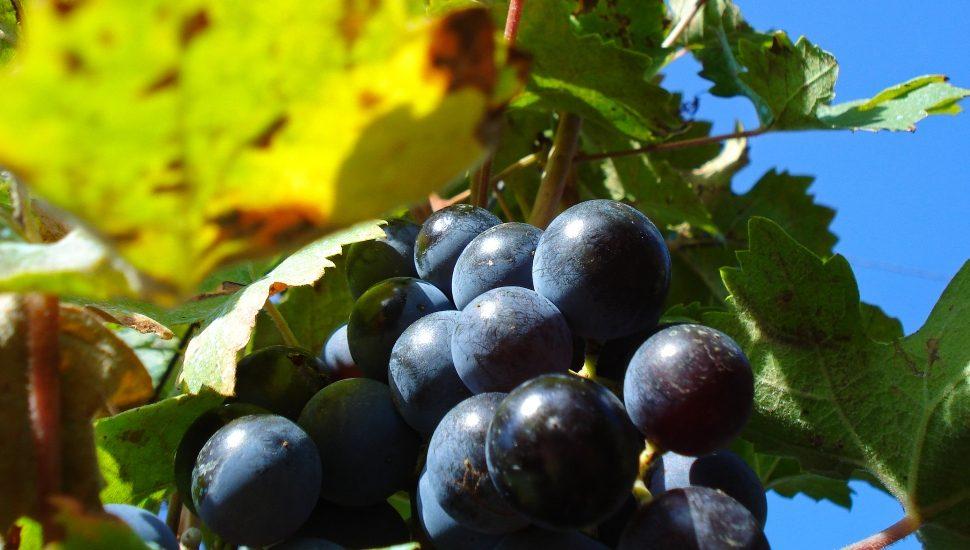 grapes on a vine